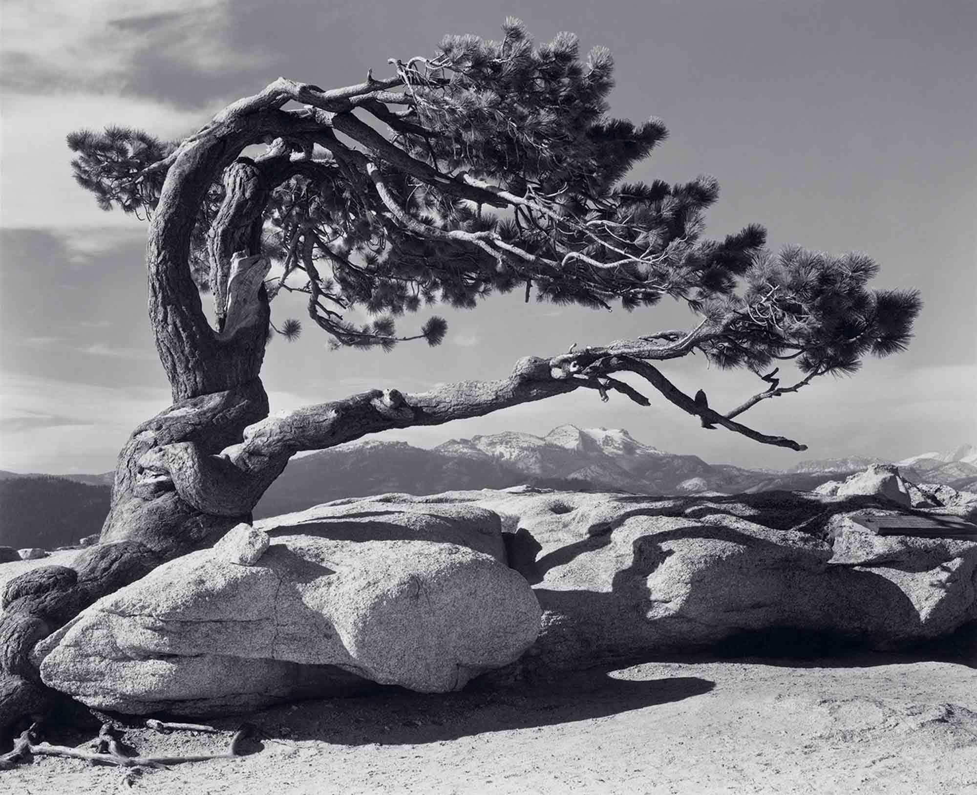 ansel-adams-Jeffrey-Pine